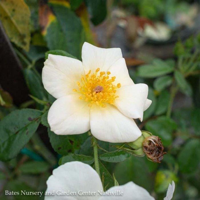 #5 Rosa x 'Sally Holmes'/Climbing Rose Cream NO WARRANTY