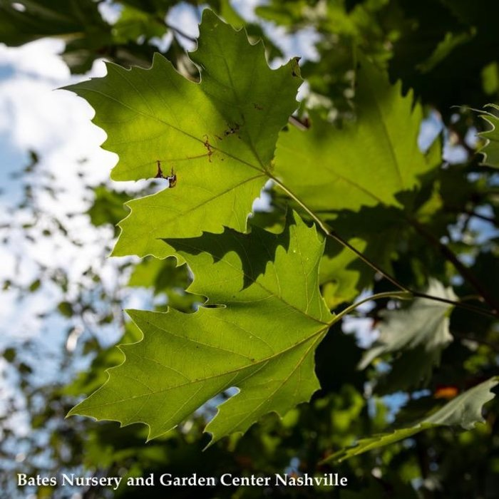 #15 Platanus occidentalis/American Sycamore