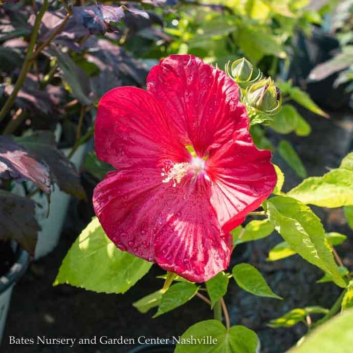 #1 Hibiscus Luna Red/Hardy