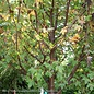 #15 Acer rubrum Redpointe/Red Maple