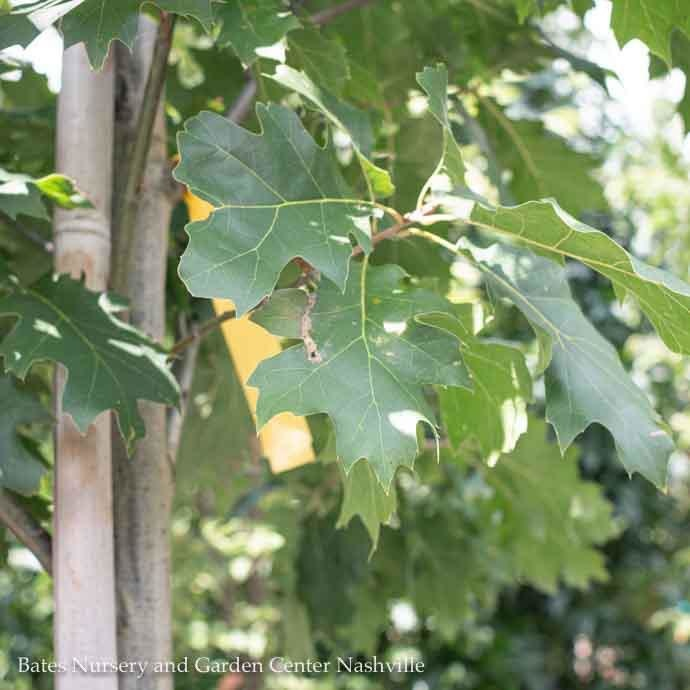 #30 Quercus rubra/Northern Red Oak