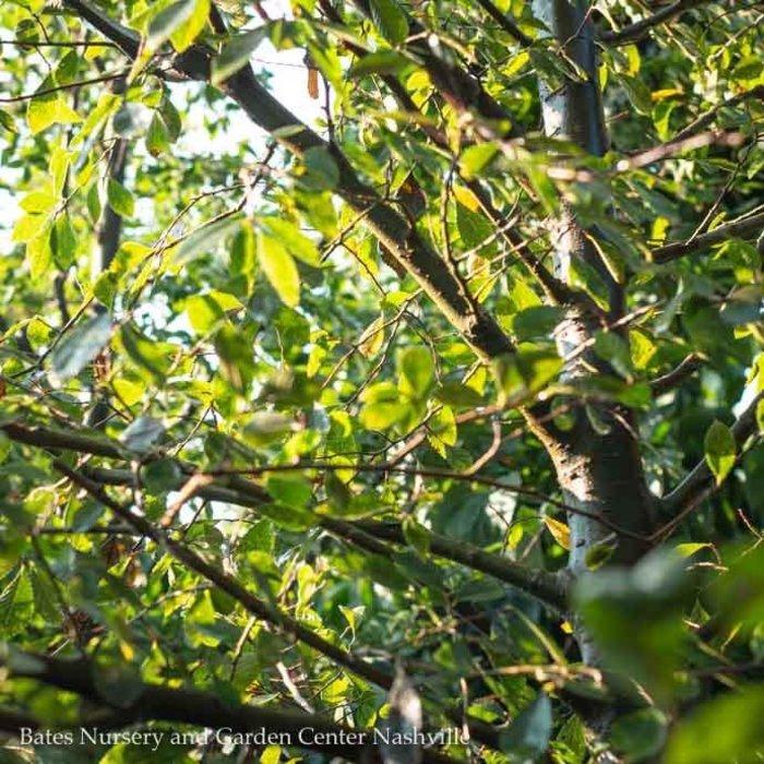 #25 Ulmus parviflora Allee/Chinese Elm Lacebark