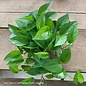 4p! Pothos Jade /Devil's Ivy /Tropical