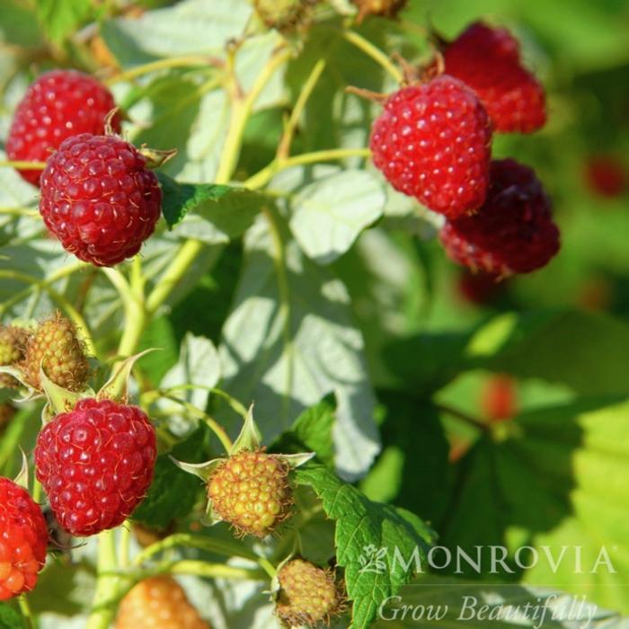 Edible #1 Rubus Heritage/Red Raspberry