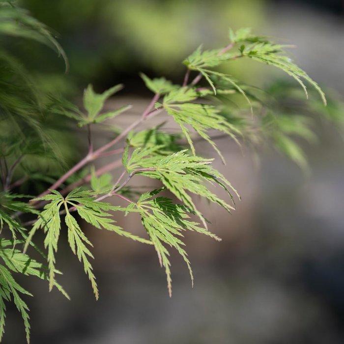 #6 Acer pal Seiryu/Japanese Maple Green Upright