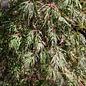 #5 Acer palmatum 'Orangeola'/Japanese Maple