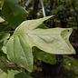 #7 Liriodendron tulipifera/Tulip Poplar