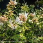 #3 Abelia x grand Kaleidoscope/Variegated