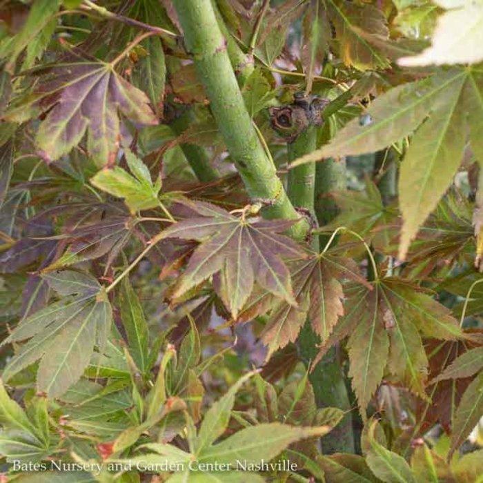 #15 Acer pal Iijima sunago/Japanese Maple Red-Orange Upright