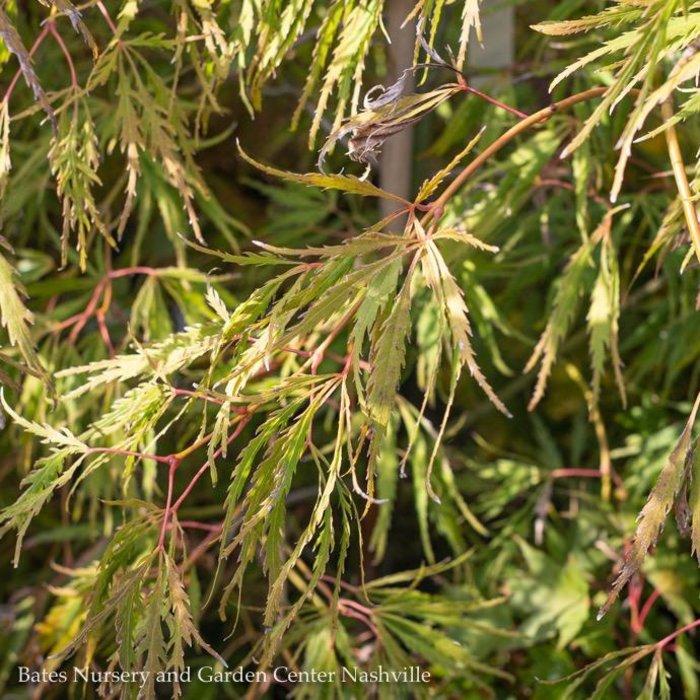 #6 Acer pal var diss Spring Delight/Japanese Maple Threadleaf Green Weeping
