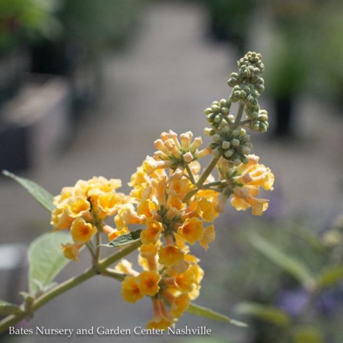 #1 Buddleia x weyeriana 'Honeycomb'/Yellow Butterfly Bush