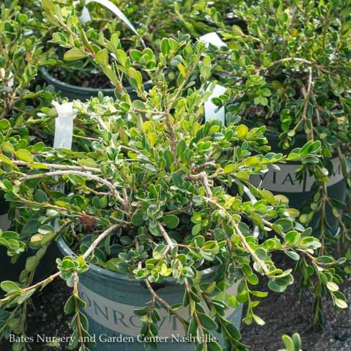 #2 Buxus sempervirens Unravled/Weeping Boxwood