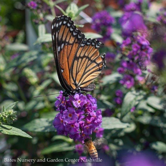 #2 Buddleia Miss Violet/Butterfly Bush