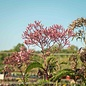 #1 Eupatorium atropurpureum/Joe-Pye Weed