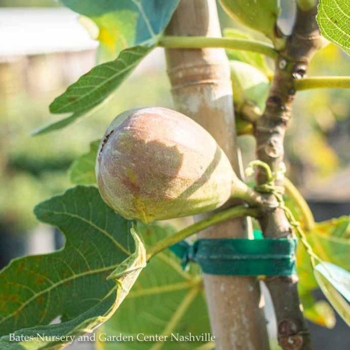 Edible #5 Ficus c Brown Turkey/Fig No Warranty