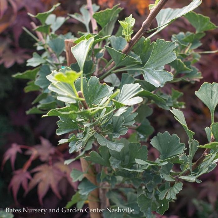 #6 Ginkgo biloba Folkert's Select/Maidenhair Tree Dwarf (Male)