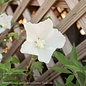 #3 Hibiscus syr White Pillar/Rose Of Sharon/Althea Columnar