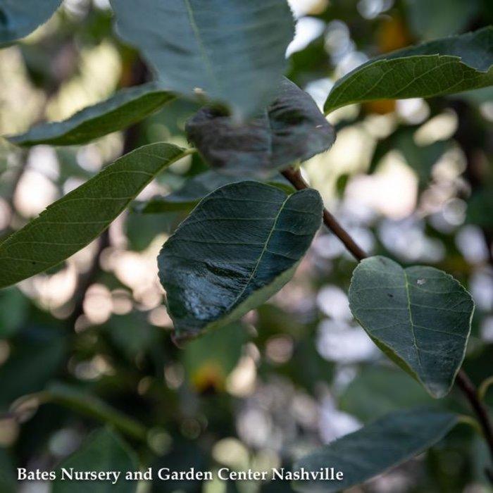 #5 Amel Autumn Brilliance/Serviceberry Single