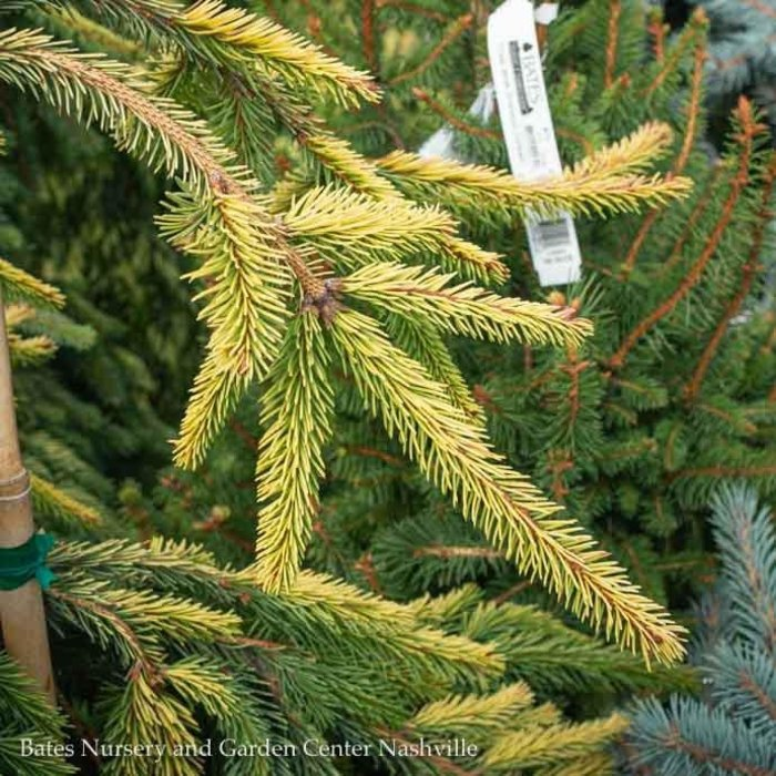 #10 Picea abies Gold Drift/Weeping Norway Spruce