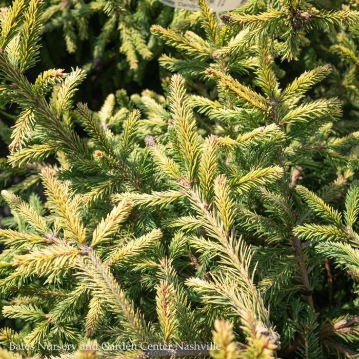#3 Picea abies Dandylion/Norway Spruce Compact