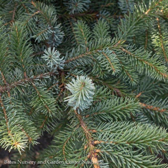 #6 Picea x 'Troemner/Hybrid Spruce