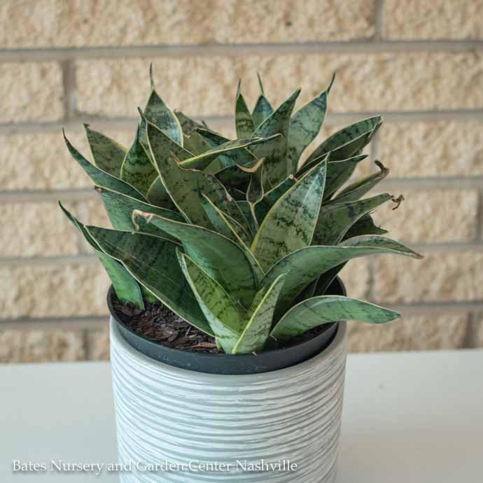 6p! Sansevieria Hahnii Silver /Mother-in-Law Tongue /Snake Plant /Tropical