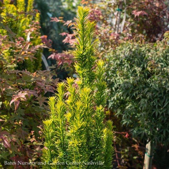 #6 Taxus baccata Bultinck's Orange Beauty/Irish Yew