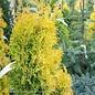 #6 Thuja occ Jantar/Amber Gold Arborvitae Columnar