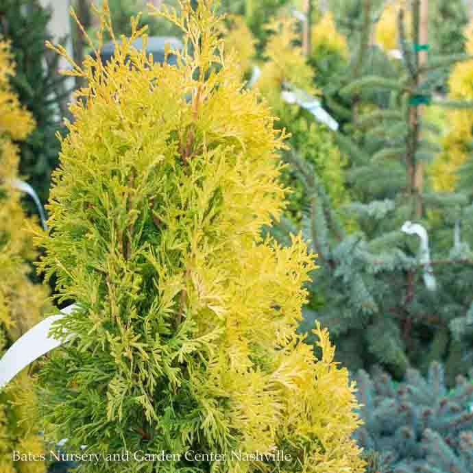#3 Thuja occ Jantar/Amber Gold Arborvitae Columnar