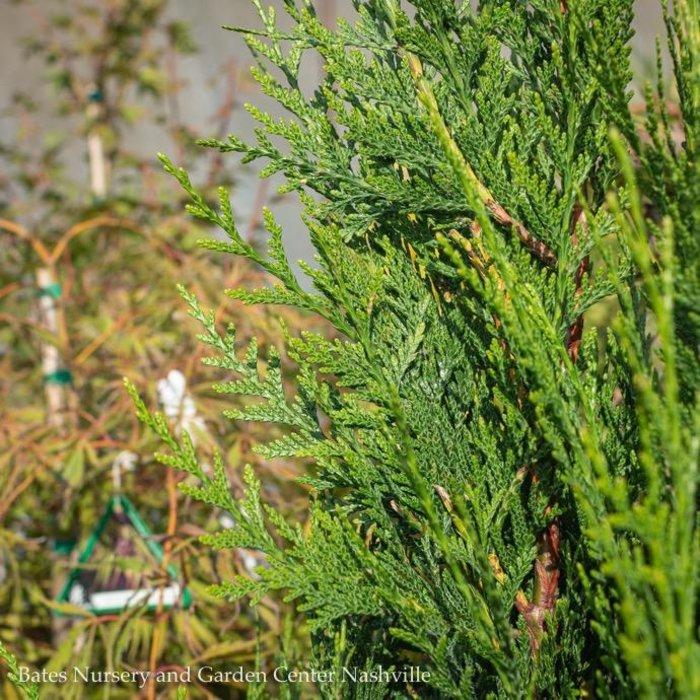#6 Thuja plicata Virescens/Western Arborvitae