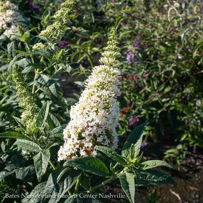 #2 Buddleia Pugster White/Dwarf Butterfly Bush