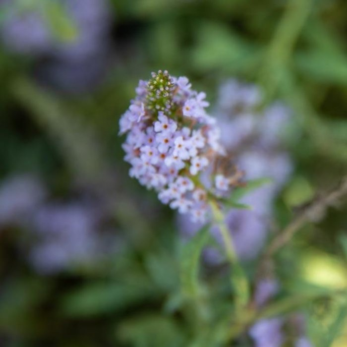 #1 Buddleia Buzz Sky Blue/Butterfly Bush