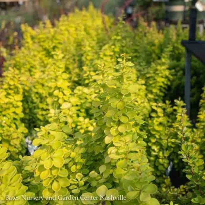 #3 Berberis thun Golden Torch/Barberry Upright