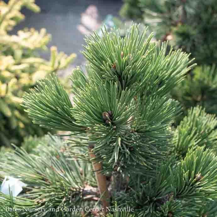 #6 Pinus leucodermis (heldreichii) Irish Bell/Bosnian Pine