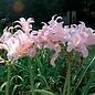 Bulb Lycoris Squamigera/Pink Magic/Spider Lily 1/pk