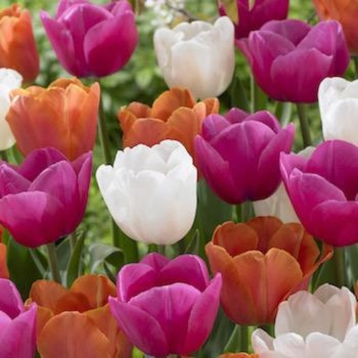 Bulb Blend Tulip Island in the Sun /Wht.pink.org 15/pk