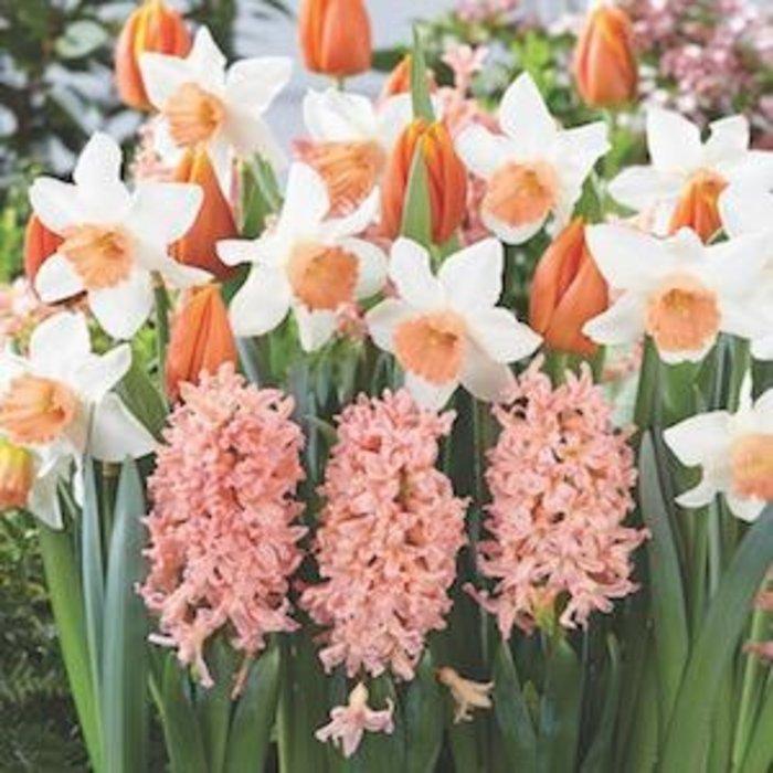 Bulb Blend Daffodil/Hyacinth Oh, So Sweet /Pink & Wht 12/pk