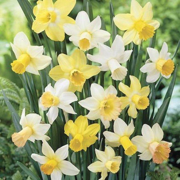 Bulb Daffodil/Narcissus Cyclamineus Mix 10/pk