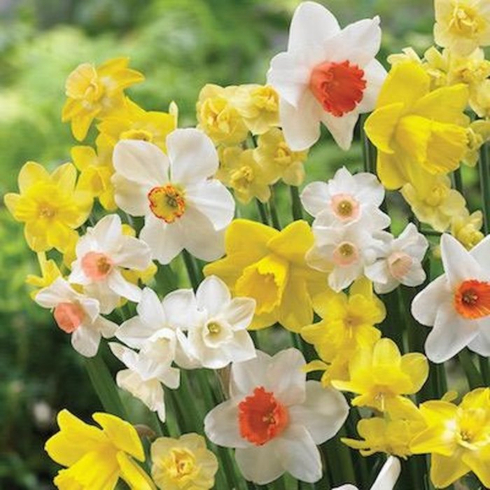 Bulb Blend Daffodil Come As You Are Yell/Wht/Org 16/pk