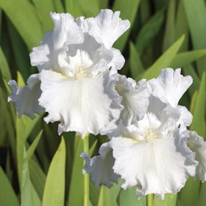 Bulb Bearded Iris Frequent Flyer / White - Repeat 1ea