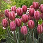 Bulb Tulip Pretty Princess / Pink 10/pk