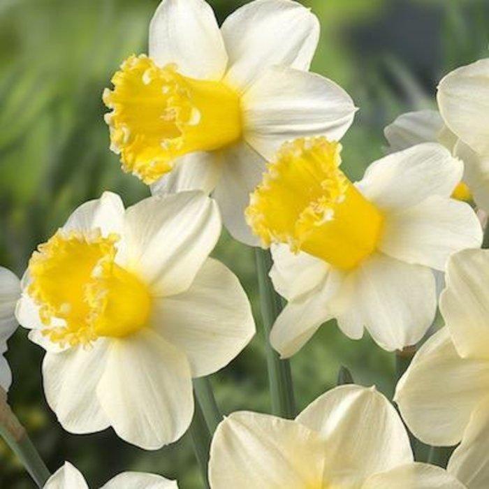 Bulb Daffodil/Narcissus Sugar Dipped 6/pk