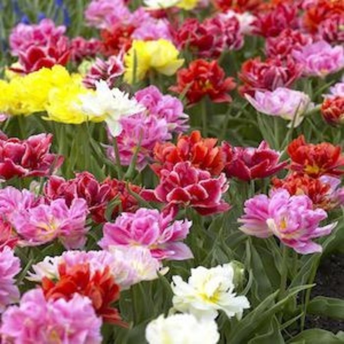 Bulb Blend Tulip Murillo Mix /Wht Red Pink Yell 12/pk