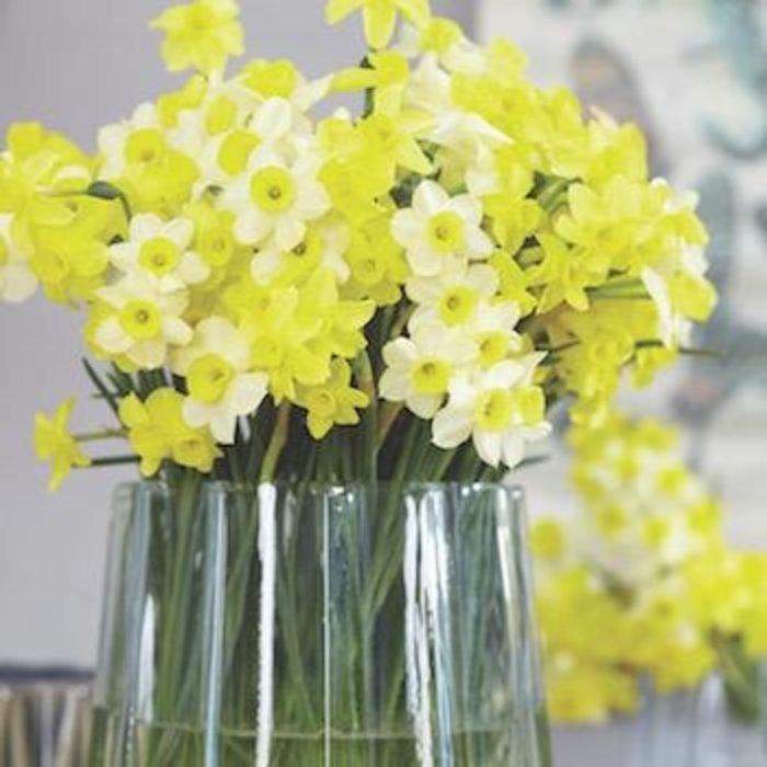 Bulb Daffodil/Narcissus Jonquilla Mix  8/pk