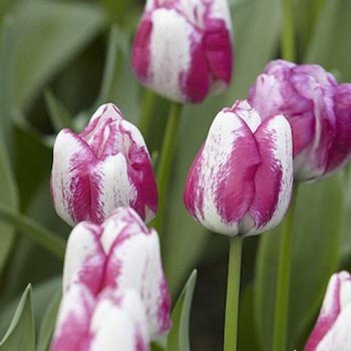 Bulb Tulip Hot Pants / White w/Purp 6/pk