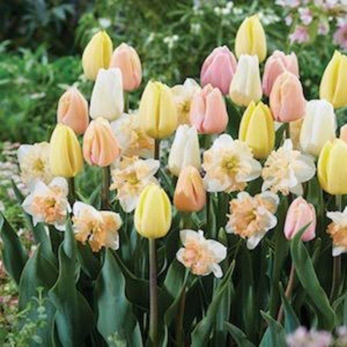 Bulb Blend Tulip/Daffodil Champagne Supernova 16/pk