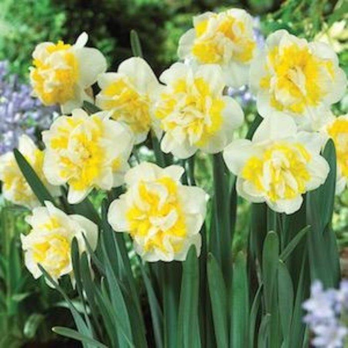 Bulb Daffodil/Narcissus Westward Double /Wht & Yell 6/pk
