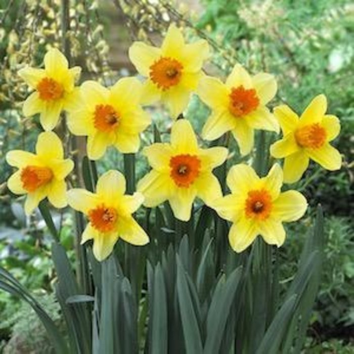 Bulb Daffodil/Narcissus Fortissimo /Yellow w/Orange cup 8/pk