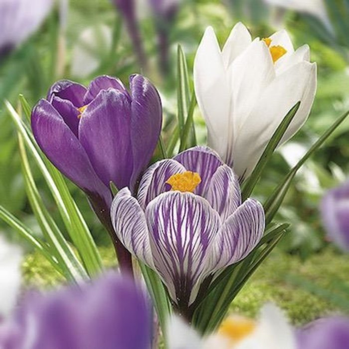 Bulb Crocus Large Flowering Mix 20/pk