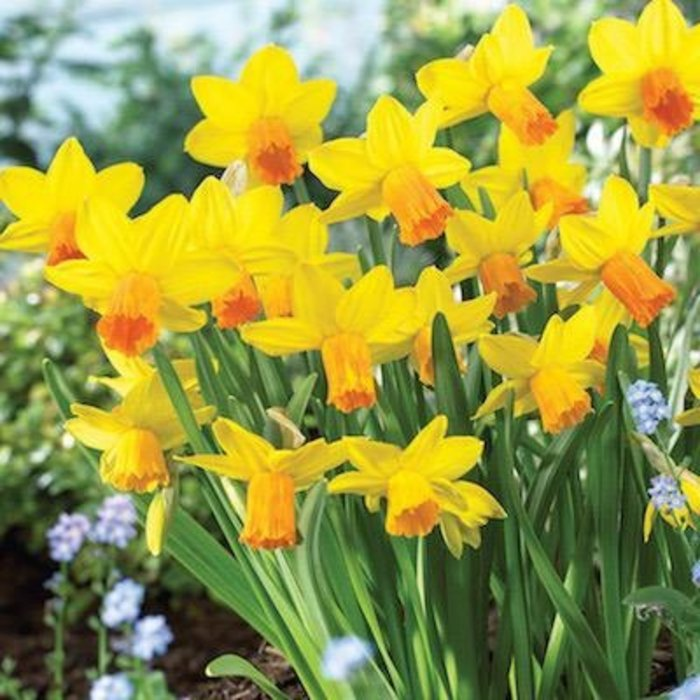 Bulb Daffodil/Narcissus Jetfire /Yellow w/Org cup 10/Pk
